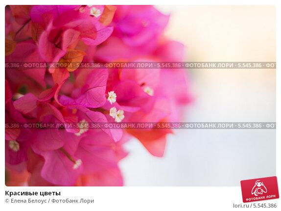 Красивые цветы. Стоковое фото, фотограф Елена Белоус / Фотобанк Лори