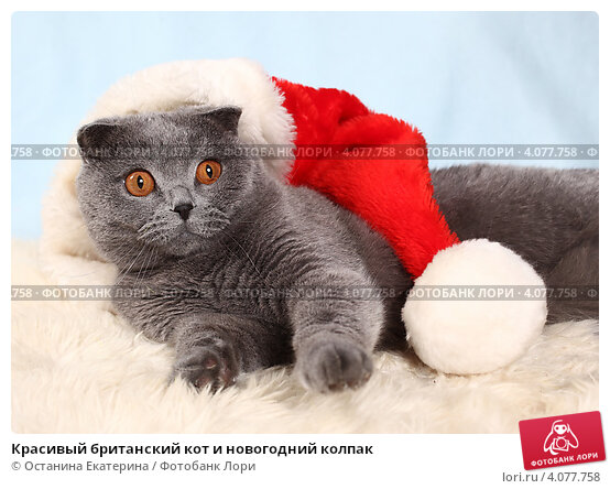 Красивый британский кот и новогодний колпак. Стоковое фото, фотограф Останина Екатерина / Фотобанк Лори