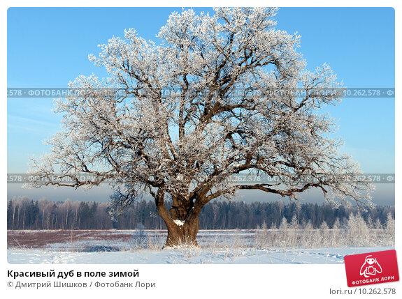 Купить «Красивый дуб в поле зимой», фото № 10262578, снято 22 января 2013 г. (c) Дмитрий Шишков / Фотобанк Лори