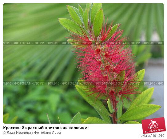 Купить «Красивый красный цветок как колючки», фото № 101910, снято 13 октября 2007 г. (c) Лада Иванова / Фотобанк Лори
