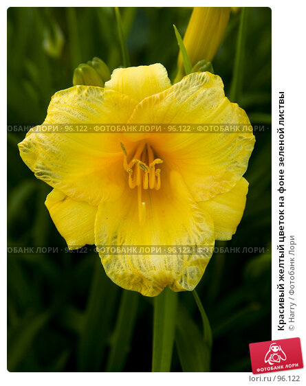 Красивый желтый цветок на фоне зеленой листвы, фото № 96122, снято 7 июля 2007 г. (c) Harry / Фотобанк Лори