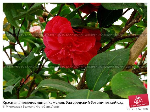 Красная анемоновидная камелия. Ужгородский ботанический сад, фото № 245898, снято 18 марта 2008 г. (c) Мирослава Безман / Фотобанк Лори