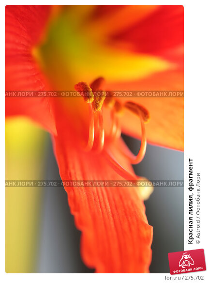 Красная лилия, фрагмент, фото № 275702, снято 30 апреля 2008 г. (c) Astroid / Фотобанк Лори