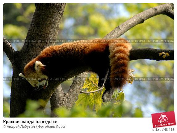 Купить «Красная панда на отдыхе», фото № 48118, снято 20 мая 2007 г. (c) Андрей Лабутин / Фотобанк Лори