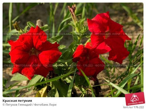 Купить «Красная петуния», фото № 176222, снято 24 июля 2007 г. (c) Петухов Геннадий / Фотобанк Лори