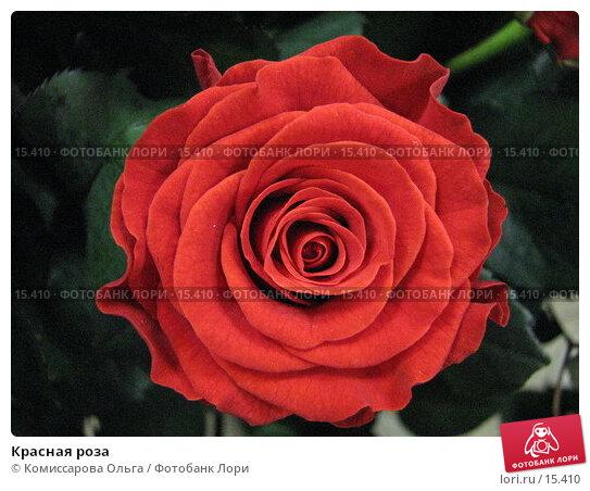 Купить «Красная роза», фото № 15410, снято 14 декабря 2006 г. (c) Комиссарова Ольга / Фотобанк Лори