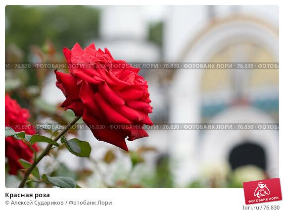 Красная роза, фото № 76830, снято 26 августа 2007 г. (c) Алексей Судариков / Фотобанк Лори