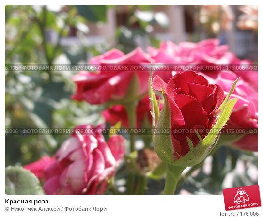 Купить «Красная роза», фото № 176006, снято 28 июля 2007 г. (c) Никончук Алексей / Фотобанк Лори