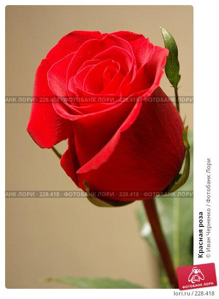 Красная роза, фото № 228418, снято 24 марта 2007 г. (c) Иван Черненко / Фотобанк Лори