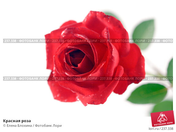 Красная роза, фото № 237338, снято 22 сентября 2007 г. (c) Елена Блохина / Фотобанк Лори