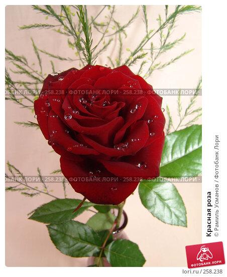 Красная роза, фото № 258238, снято 20 апреля 2008 г. (c) Рамиль Усманов / Фотобанк Лори
