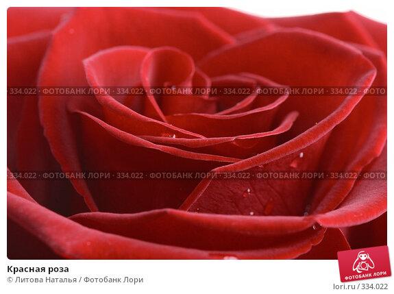 Купить «Красная роза», фото № 334022, снято 15 января 2008 г. (c) Литова Наталья / Фотобанк Лори