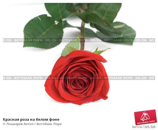 Красная роза на белом фоне, фото № 325326, снято 20 августа 2017 г. (c) Лошкарев Антон / Фотобанк Лори