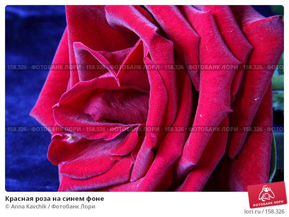 Красная роза на синем фоне, фото № 158326, снято 23 декабря 2007 г. (c) Anna Kavchik / Фотобанк Лори
