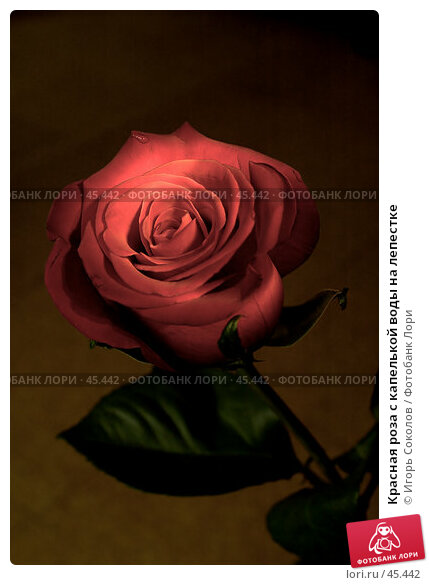 Красная роза с капелькой воды на лепестке, фото № 45442, снято 23 января 2017 г. (c) Игорь Соколов / Фотобанк Лори