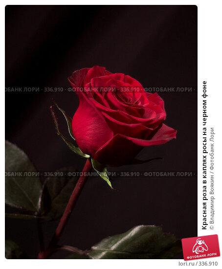 Красная роза в каплях росы на черном фоне, фото № 336910, снято 14 января 2008 г. (c) Владимир Воякин / Фотобанк Лори