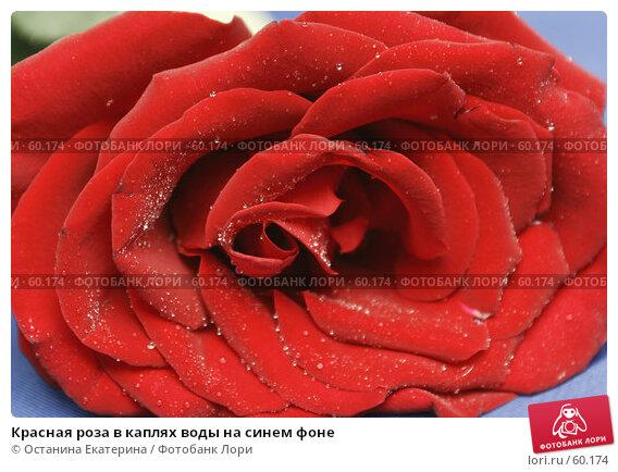 Красная роза в каплях воды на синем фоне, фото № 60174, снято 31 января 2007 г. (c) Останина Екатерина / Фотобанк Лори