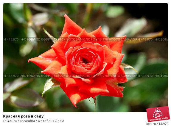 Красная роза в саду, фото № 13970, снято 14 июля 2006 г. (c) Ольга Красавина / Фотобанк Лори