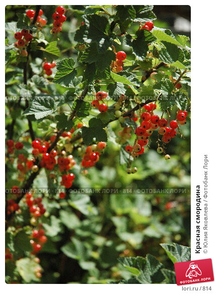 Красная смородина, фото № 814, снято 28 июня 2005 г. (c) Юлия Яковлева / Фотобанк Лори