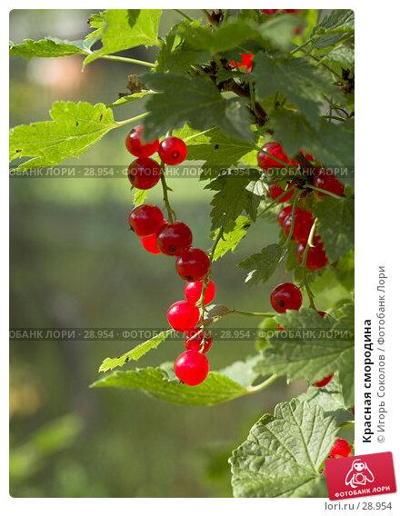 Красная смородина, фото № 28954, снято 26 августа 2006 г. (c) Игорь Соколов / Фотобанк Лори