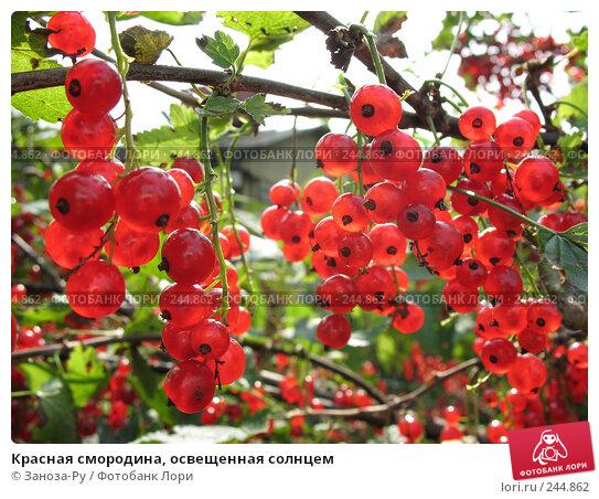 Купить «Красная смородина, освещенная солнцем», фото № 244862, снято 5 августа 2007 г. (c) Заноза-Ру / Фотобанк Лори