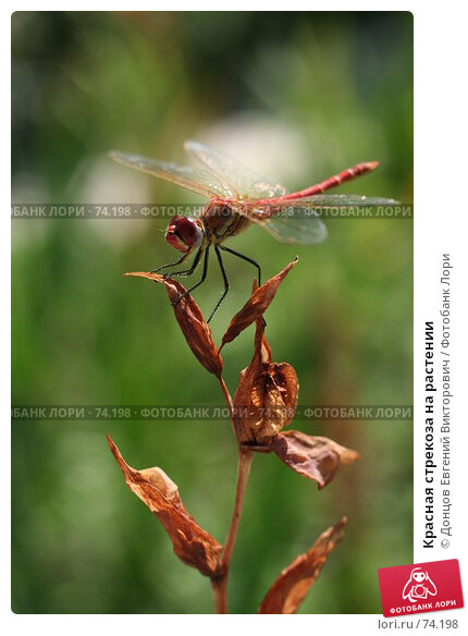 Красная стрекоза на растении, фото № 74198, снято 3 августа 2007 г. (c) Донцов Евгений Викторович / Фотобанк Лори