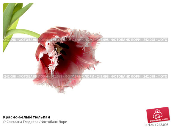Красно-белый тюльпан, фото № 242098, снято 25 апреля 2017 г. (c) Cветлана Гладкова / Фотобанк Лори