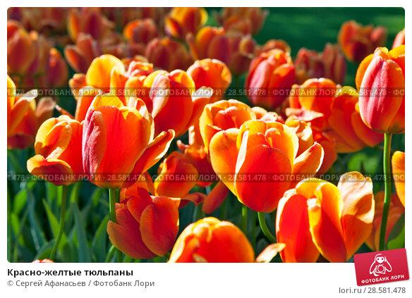 Купить «Красно-желтые тюльпаны», фото № 28581478, снято 4 мая 2018 г. (c) Сергей Афанасьев / Фотобанк Лори