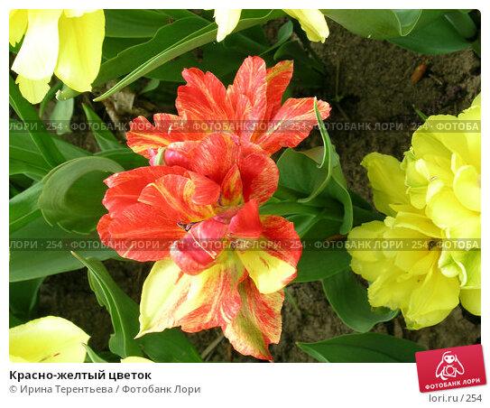Красно-желтый цветок, эксклюзивное фото № 254, снято 11 мая 2004 г. (c) Ирина Терентьева / Фотобанк Лори