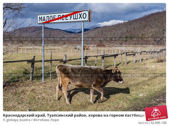 Купить «Краснодарский край, Туапсинский район, корова на горном пастбище», фото № 32995138, снято 24 января 2020 г. (c) glokaya_kuzdra / Фотобанк Лори
