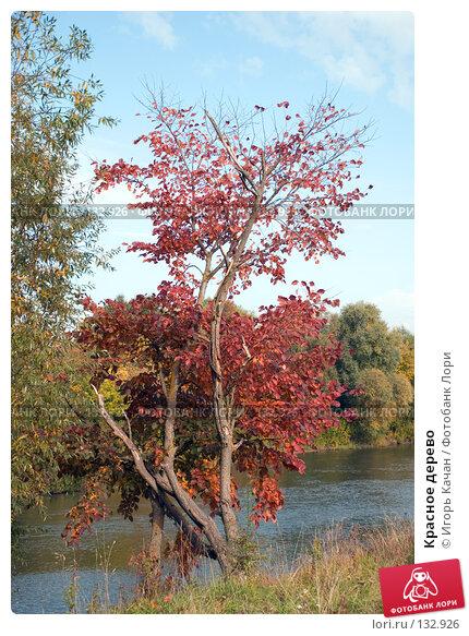 Красное дерево, фото № 132926, снято 28 сентября 2007 г. (c) Игорь Качан / Фотобанк Лори