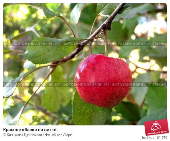 Красное яблоко на ветке, фото № 101970, снято 26 мая 2017 г. (c) Светлана Кучинская / Фотобанк Лори
