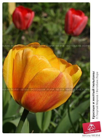 Красные и желтый тюльпаны, фото № 60914, снято 18 мая 2007 г. (c) Георгий Марков / Фотобанк Лори