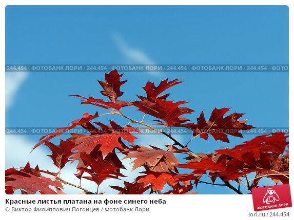 Красные листья платана на фоне синего неба, фото № 244454, снято 13 ноября 2007 г. (c) Виктор Филиппович Погонцев / Фотобанк Лори