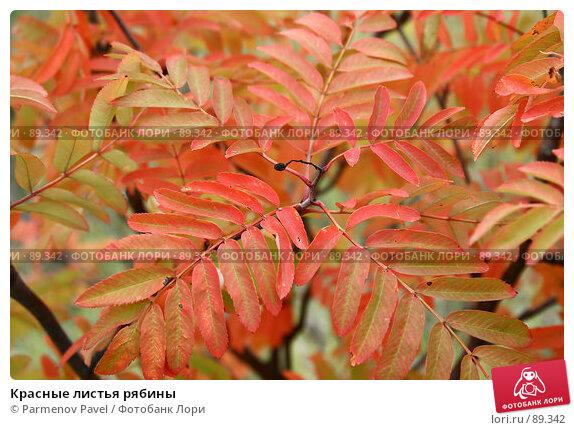 Красные листья рябины, фото № 89342, снято 22 сентября 2007 г. (c) Parmenov Pavel / Фотобанк Лори