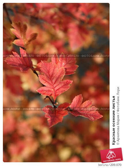 Купить «Красные осенние листья», фото № 209070, снято 22 сентября 2007 г. (c) Архипова Мария / Фотобанк Лори