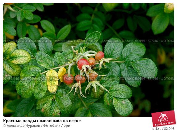 Красные плоды шиповника на ветке, фото № 82946, снято 12 сентября 2007 г. (c) Александр Чураков / Фотобанк Лори