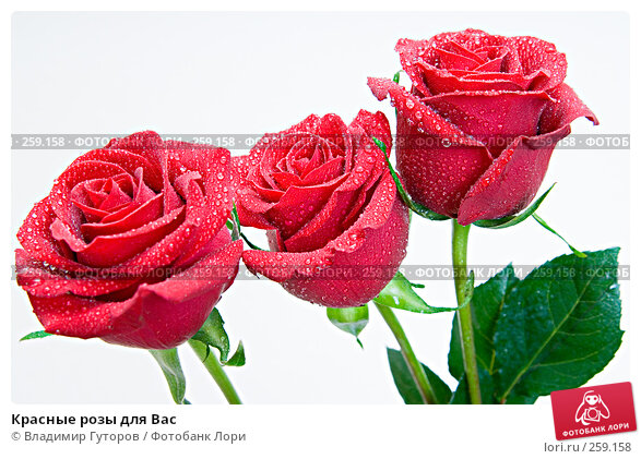 Купить «Красные розы для Вас», фото № 259158, снято 22 апреля 2008 г. (c) Владимир Гуторов / Фотобанк Лори
