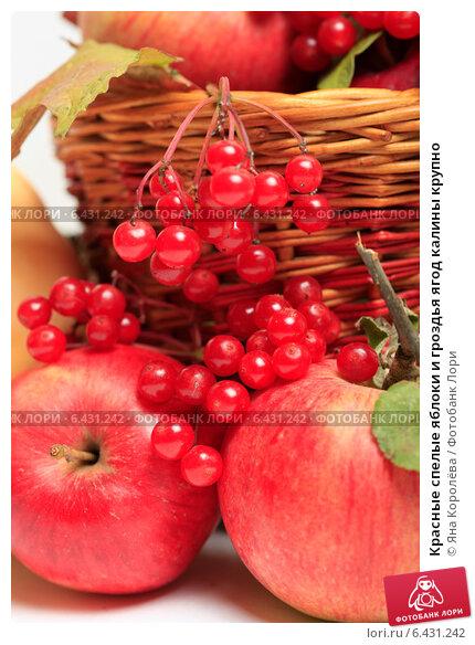 Купить «Красные спелые яблоки и гроздья ягод калины крупно», эксклюзивное фото № 6431242, снято 23 сентября 2014 г. (c) Яна Королёва / Фотобанк Лори