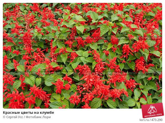 Красные цветы для клумбы