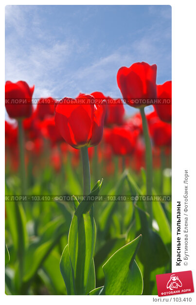 Красные тюльпаны, фото № 103410, снято 28 октября 2016 г. (c) Бутинова Елена / Фотобанк Лори