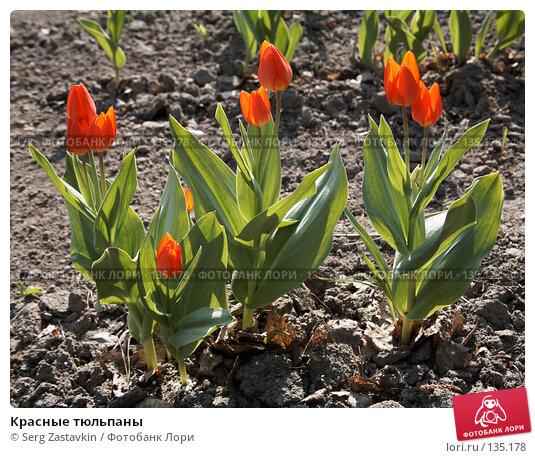 Красные тюльпаны, фото № 135178, снято 22 мая 2006 г. (c) Serg Zastavkin / Фотобанк Лори