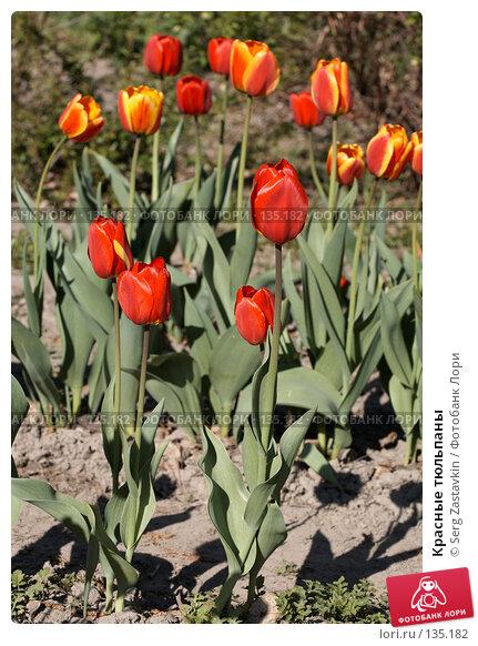 Красные тюльпаны, фото № 135182, снято 31 мая 2006 г. (c) Serg Zastavkin / Фотобанк Лори