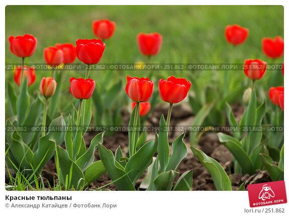 Красные тюльпаны, фото № 251862, снято 12 апреля 2008 г. (c) Александр Катайцев / Фотобанк Лори