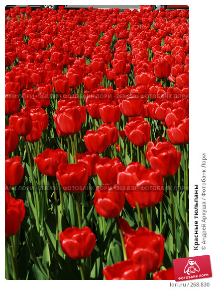 Красные тюльпаны, фото № 268830, снято 25 апреля 2008 г. (c) Андрей Аркуша / Фотобанк Лори