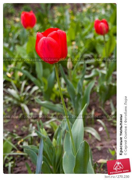 Красные тюльпаны, фото № 270230, снято 23 апреля 2008 г. (c) Сергей Осипов / Фотобанк Лори