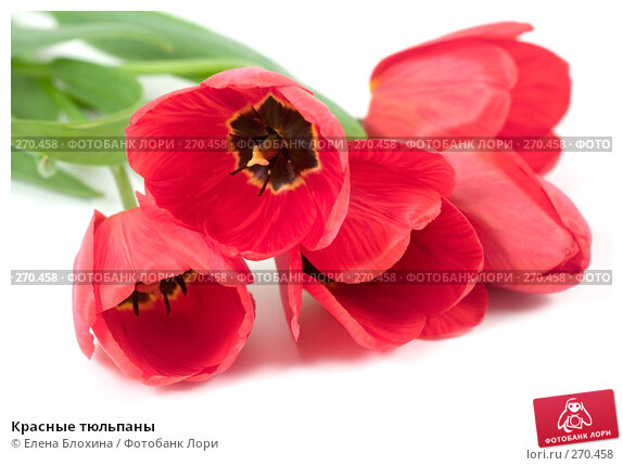 Красные тюльпаны, фото № 270458, снято 3 мая 2008 г. (c) Елена Блохина / Фотобанк Лори