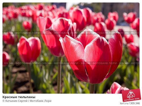 Красные тюльпаны, фото № 309346, снято 23 мая 2008 г. (c) Катыкин Сергей / Фотобанк Лори