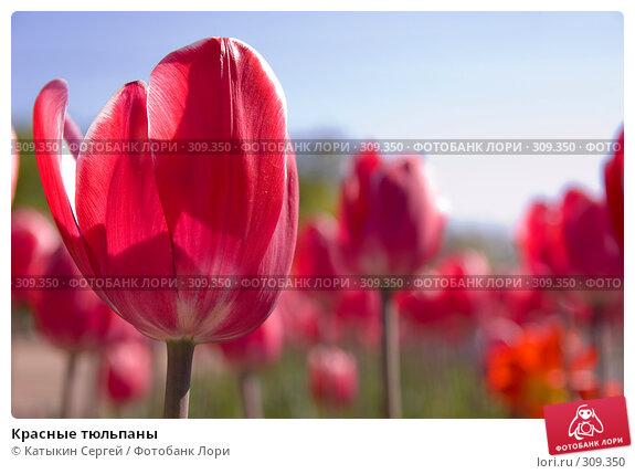 Красные тюльпаны, фото № 309350, снято 23 мая 2008 г. (c) Катыкин Сергей / Фотобанк Лори
