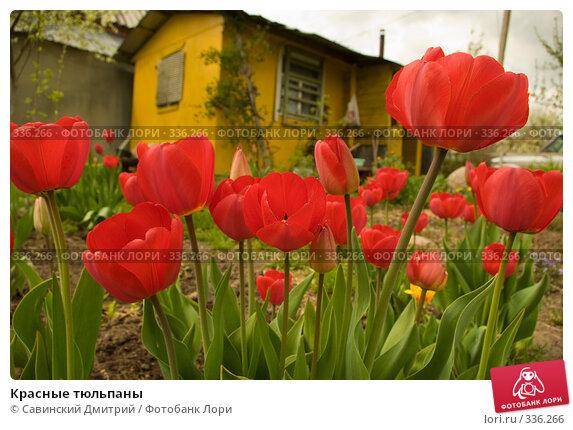 Красные тюльпаны, фото № 336266, снято 9 июня 2008 г. (c) Савинский Дмитрий / Фотобанк Лори